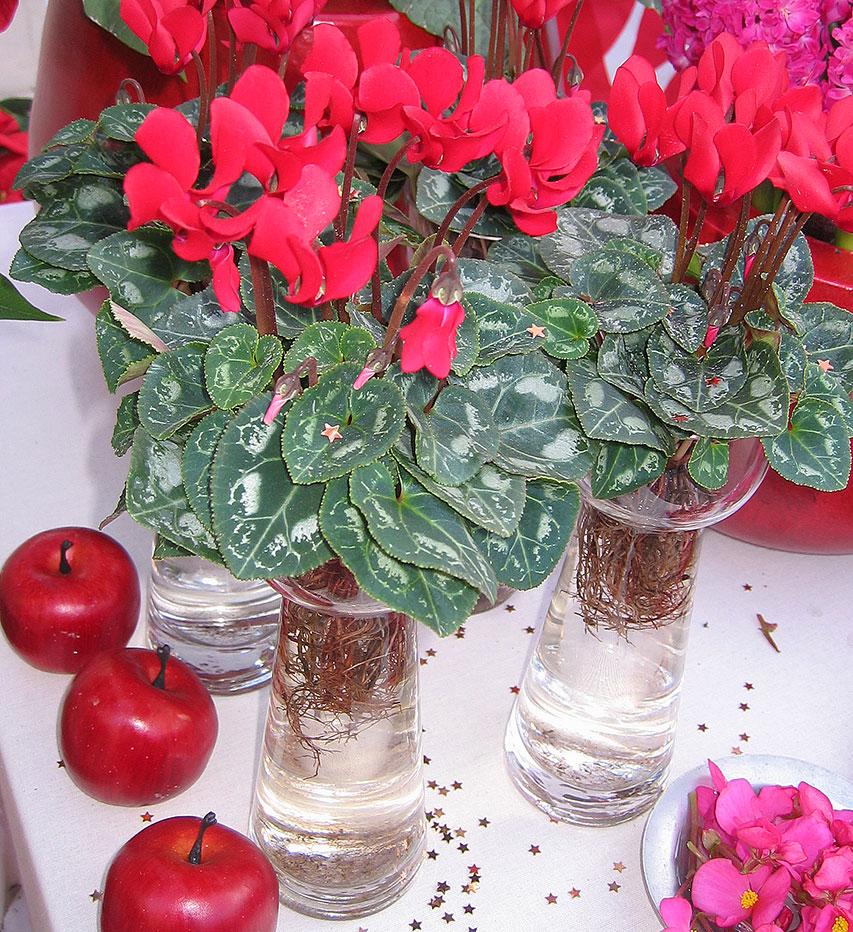 Cyklamen är en spännande växt, och kan med stor fördel få växa i ett hyacintglas. Foto: Kerstin Engstrand