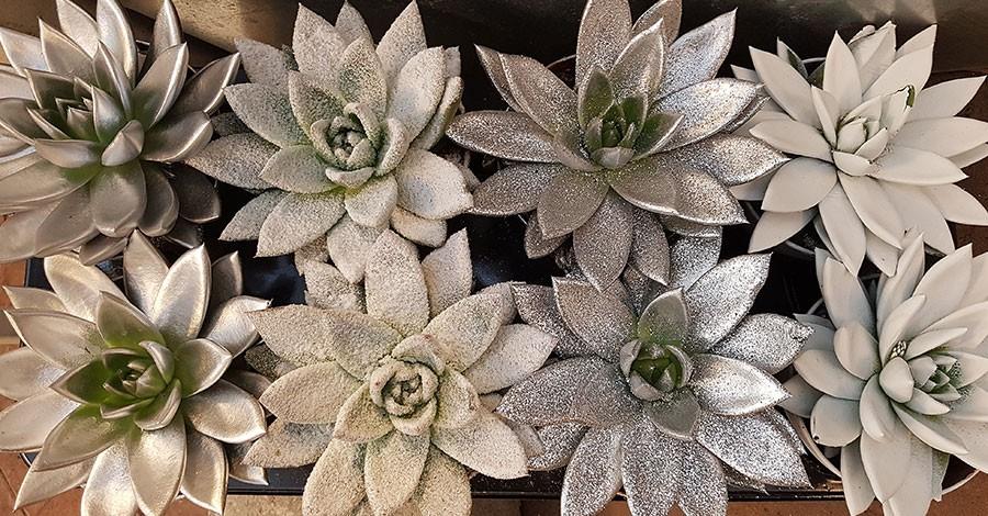 """Echeveria i vita och silvertoner. Den andra till vänster brukar säljas som Echeveria Miranda """"Snö"""".  Foto: Kerstin Engstrand"""