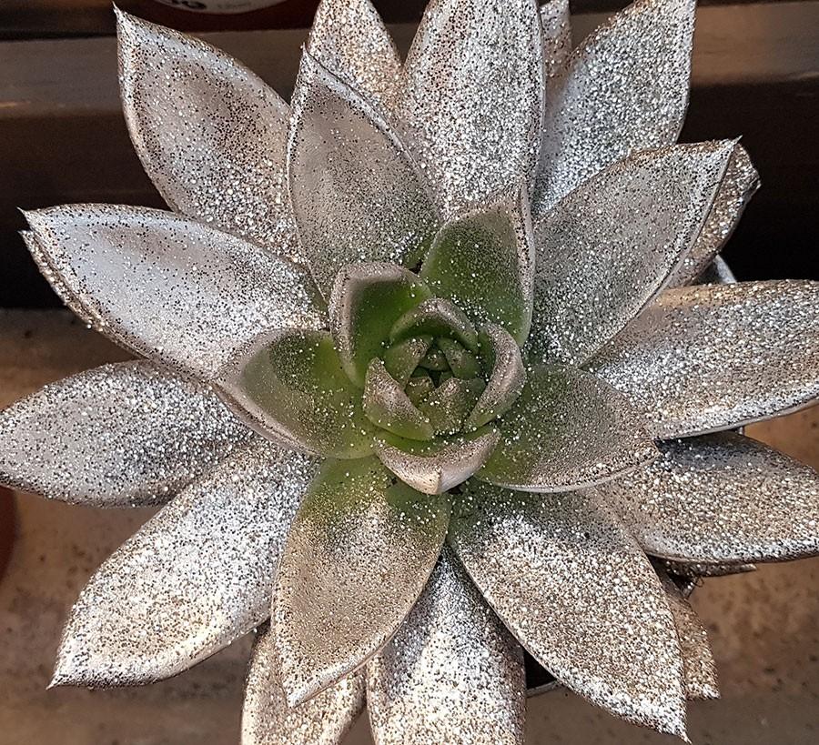 När den målade echeverian växer till sig ser man snart den nya fräscha tillväxtens naturliga färg. Foto: Kerstin Engstrand
