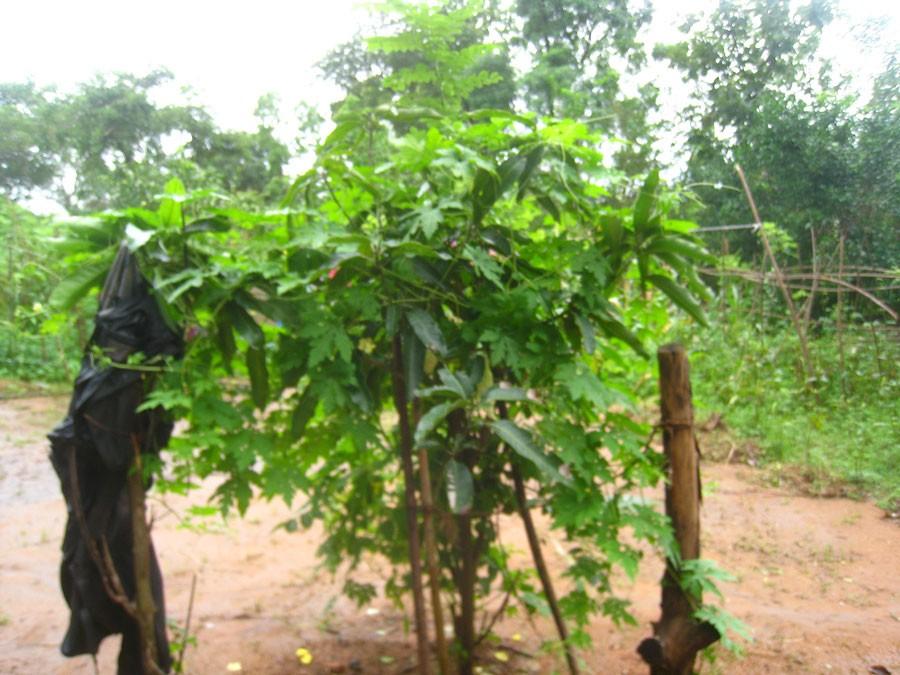 Ungt träd av äkta kanel en regnig och stormig dag på Sri Lanka. Foto: Kerstin Engstrand