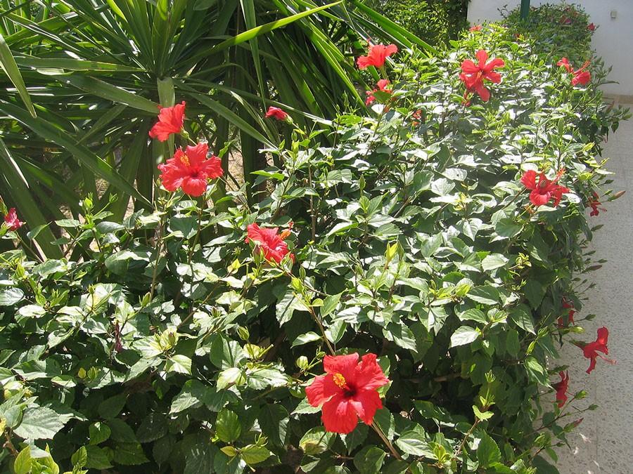 I varmare länder är hibiskus vanlig som häck. Foto: Kerstin Engstrand