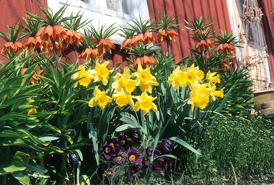 Skarpa kontraster är viktiga. Orange kejsarkronor, gula  påskliljor och lila backsippa är en bra vårkombination. Foto: Kerstin Engstrand