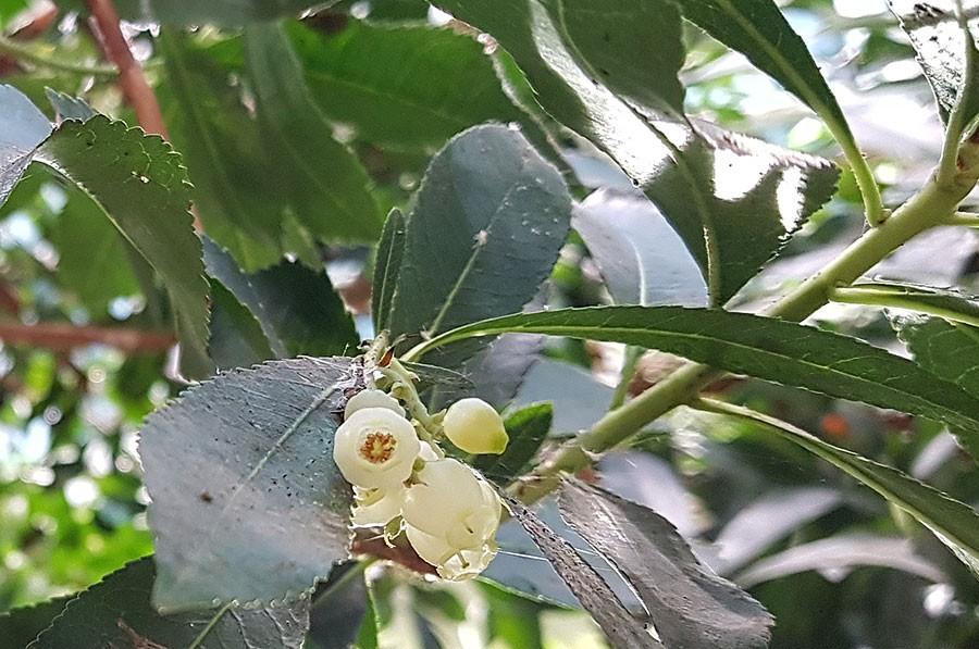 Smultronträdets blommor.  Foto: Kerstin Engstrand