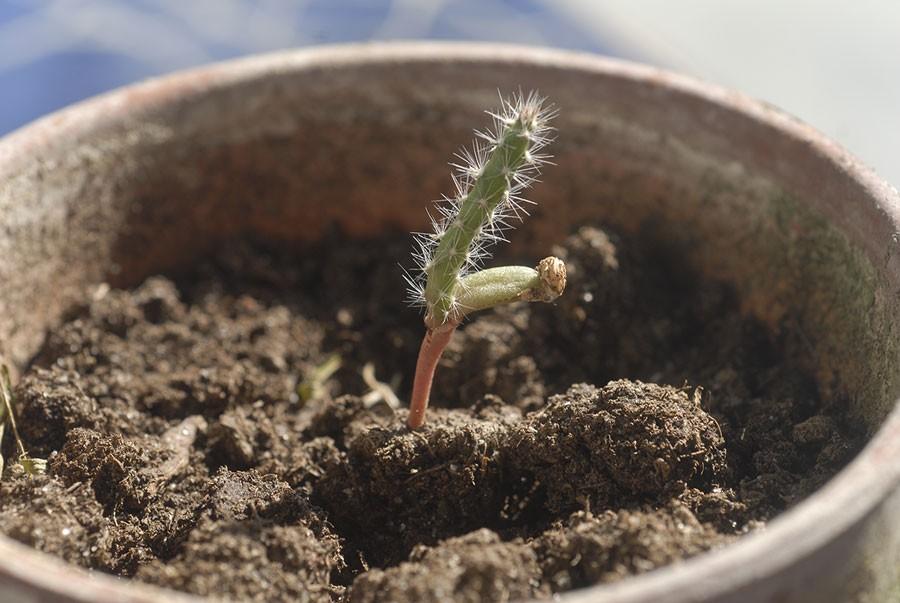 Kaktussådd på tillväxt! Foto: Kerstin Engstrand