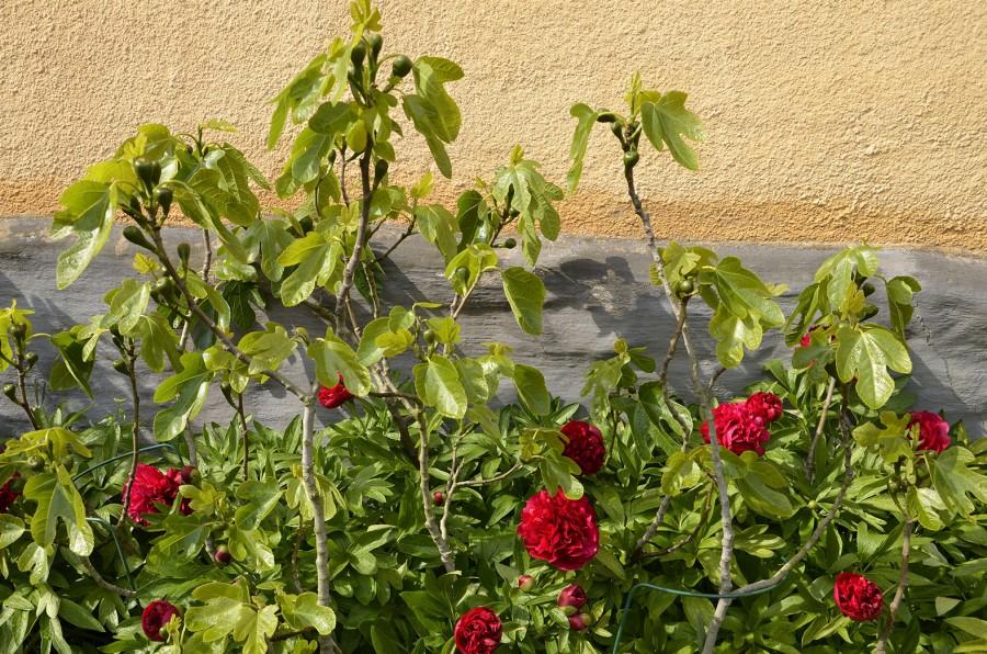 Fikon planterade längs husväggen vid Katrinetorps Landeri, Malmö. Utsökt matchade  med vanliga röda bondpioner! Foto: Kerstin Engstrand
