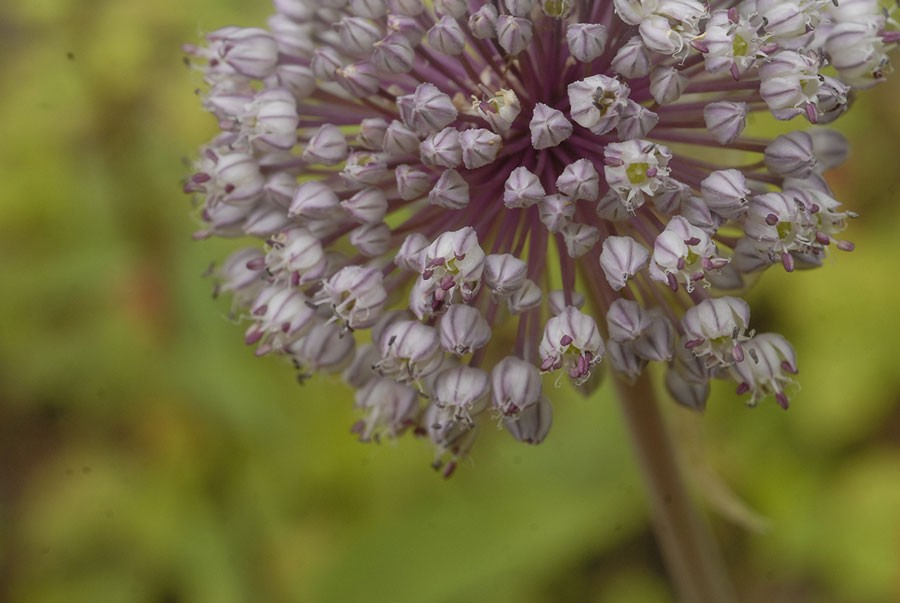 Även blomknopparna smakar bra. Foto: Kerstin Engstrand