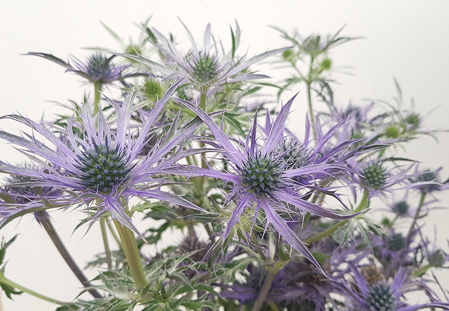 Eryngium 'Blue Waves'  Foto: Kerstin Engstrand