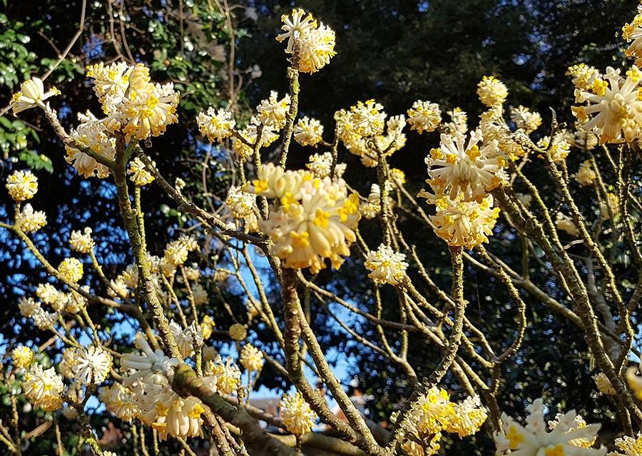 Detta exemplar är från 1999 och växer i Kew i London, världens främsta botaniska trädgård.  Foto: Kerstin Engstrand