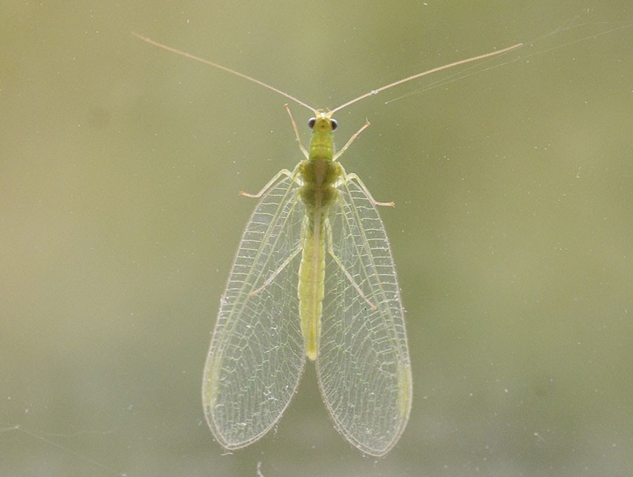 Ibland hittar man guldögonsländor inomhus. Var snäll mot dem, larverna äter mer än gärna bladlöss och de äter alla sorter av bladlöss. Foto: Kerstin Engstrand