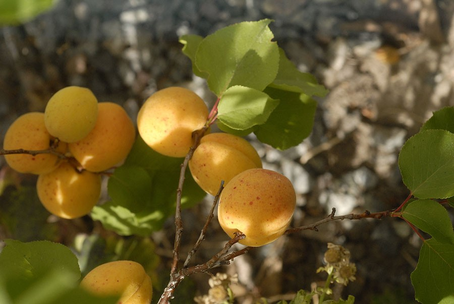 Aprikoser mogna i början av augusti, sort Nancy.  Foto: Kerstin Engstrand