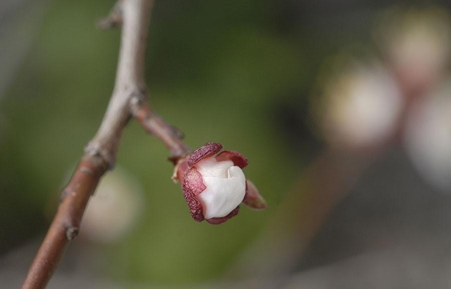 Blomknopp i mitten av april. Foto: Kerstin Engstrand