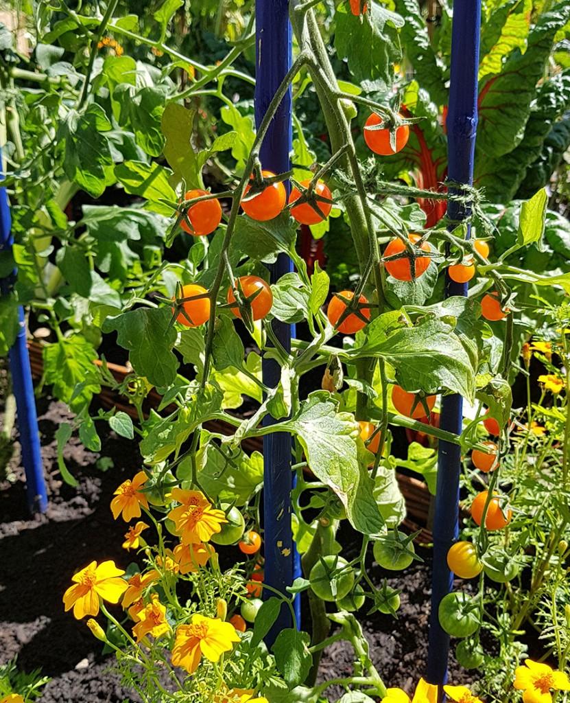 Orange tomater är det allra senaste att odla.