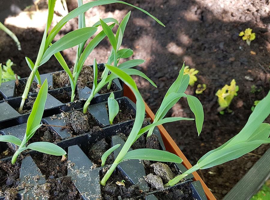 Frösådda majsplantor för utplantering. Foto: Kerstin Engstrand