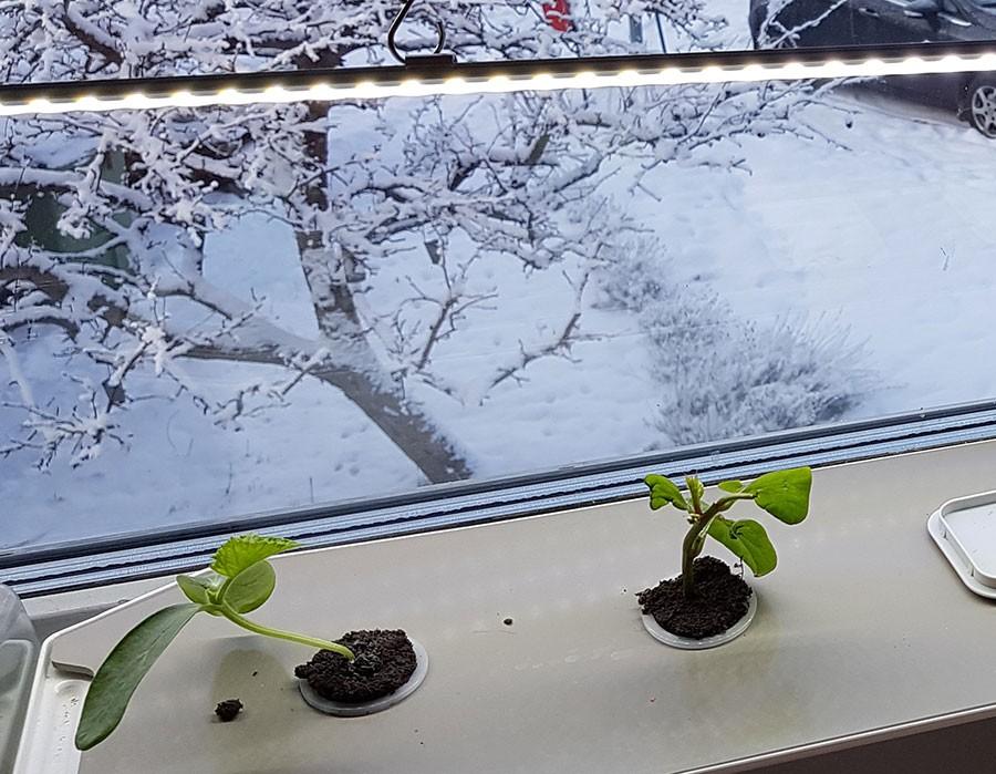 Starten har gått, ute är det kallt och snö, inne börjar minigurkan 'Baby' sin tillväxtresa. Det är plantan längst till vänster. Foto: Kerstin Engstrand