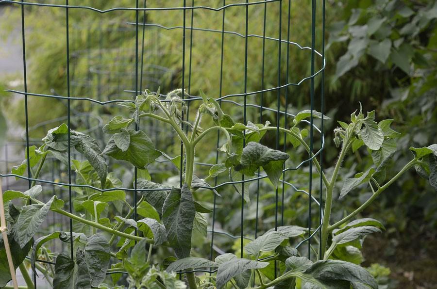 Bra och enkelt stöd till tomat är denna bur. Foto: Kerstin Engstrand