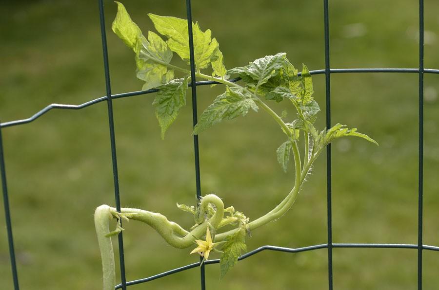 Det är lätt att hjälpa tomatplantan på traven. Foto: Kerstin Engstrand
