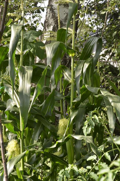 Majs stormtrivs i pallkragar. I toppen på varje planta syns hanblomman, längre ner honblommorna. Foto: Kerstin Engstrand