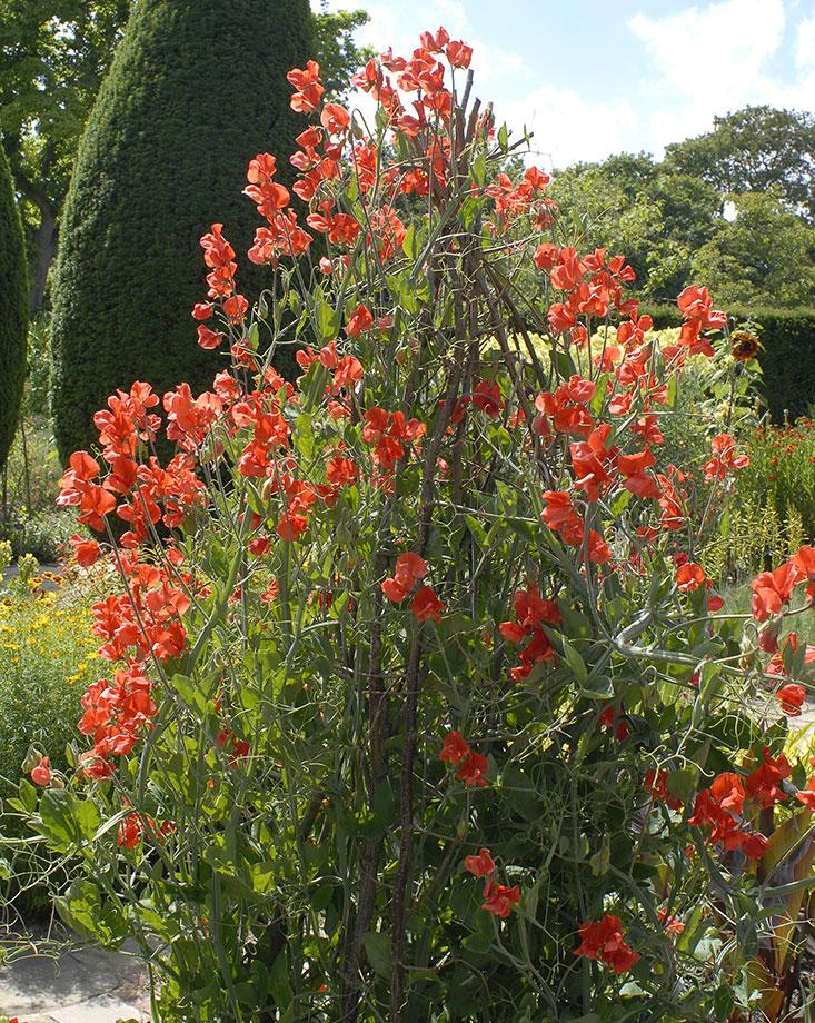 Luktärter i världens mest berömda trädgård, Sissinghurst.  Foto: Kerstin Engstrand