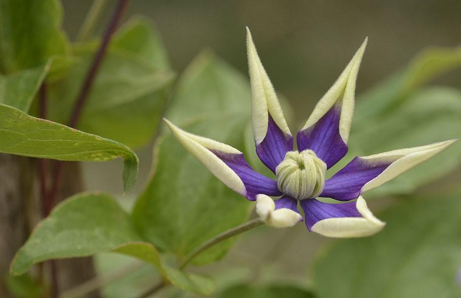 'Taiga' , blommorna bjuder på en härlig utveckling. Foto: Kerstin Engstrand