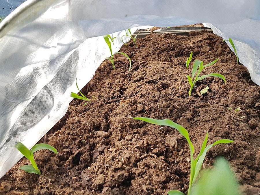 Nyutplanterade majsplantor skyddas under fiberduk. Foto: Kerstin Engstrand