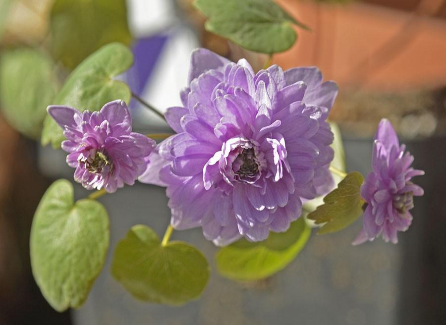 Blommande exemplar i trädgårdsbutiken och man faller som en fura! Foto: Kerstin Engstrand