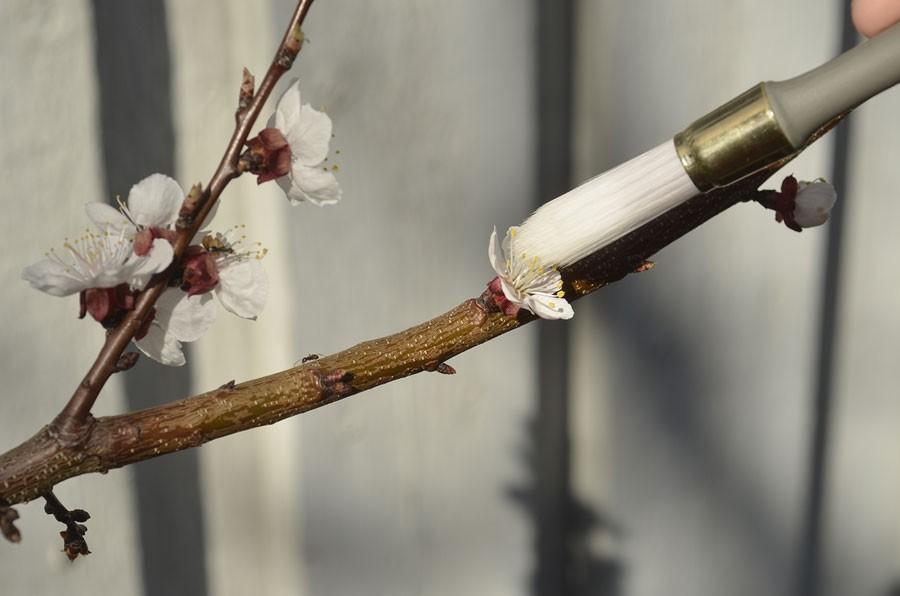 Aprikos kan behöva hjälp med pollinering. Foto: Kerstin Engstrand