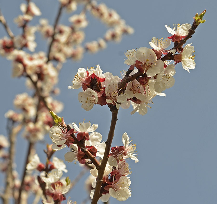 Sorten 'Hargrand' i blom. Foto: Kerstin Engstrand