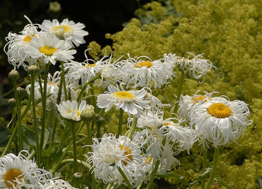 Den matchar blommande jättedaggkåpa fint. Foto: Kerstin Engstrand