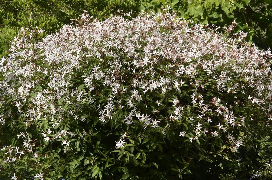 På håll ser det ut som om det är fullt av små vita fjärilar som svärmar men det är trebladsspiran som blommar!  Foto: Kerstin Engstrand