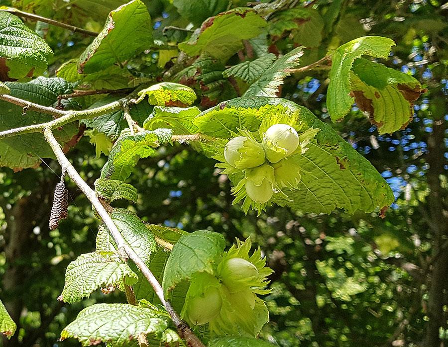 Hasselnötter, fortfarande gröna och omogna. Foto: Kerstin Engstrand