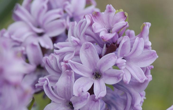 Detalj av driven hyacint. Hur de ser ut när de blommar efter utplantering syns på bilden längst ner i denna artikel. Foto: Kerstin Engstrand