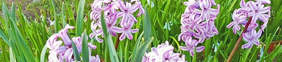 Utplanterade drivna hyacinter året efter utplanteringen. Foto: Kerstin Engstrand