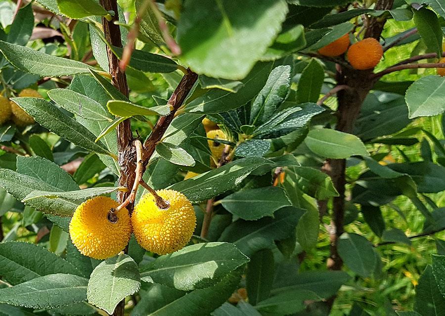 Smultronträdets bär blir först gula sedan orange för att till slut bli moget knallröda.  Foto: Kerstin Engstrand