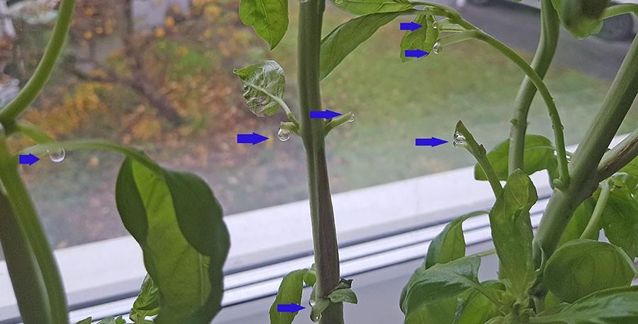 """Efter en rejäl skörd kan man  se att plantorna """"läcker vatten"""". Inget farligt, det upphör efter en dag och därefter fortsätter de att växa till sig.  Foto: Kerstin Engstrand"""