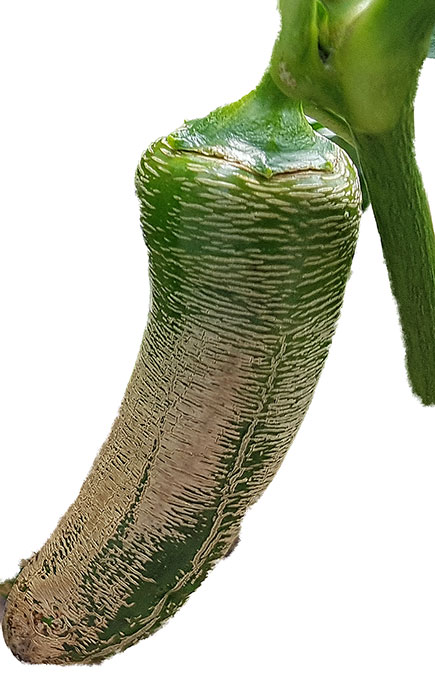 De ljusa strecken, sprickorna på Elephant Pepper är ingen sjukdom utan karakteristiskt för just denna sort.   Foto: Kerstin Engstrand