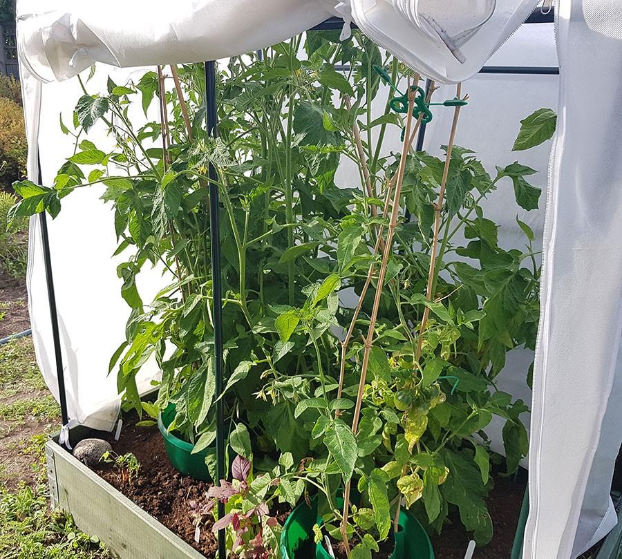 Fyra vintertomatplantor i en pallkrage. När det blir riktigt varmt ute, som sommaren 2019 sätter jag på detta vita fiberduksskydd mot solen. Allt för att slippa vattna så mycket.  Foto: Kerstin Engstrand