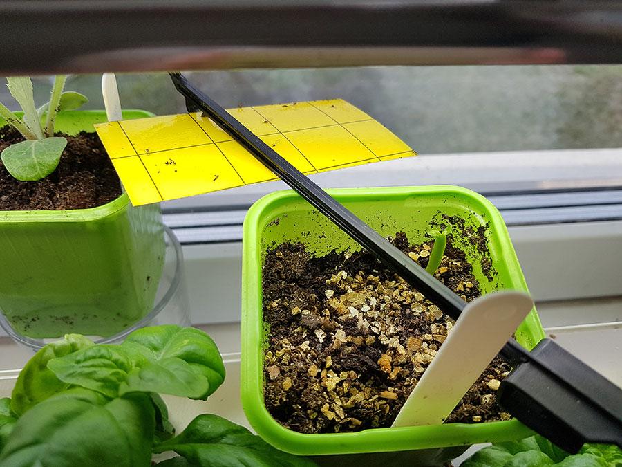 Gul klisterremsa är en bra fångsfälla. Det guldiga i den gröna krukan är vermikulit.  Foto: Kerstin Engstrand