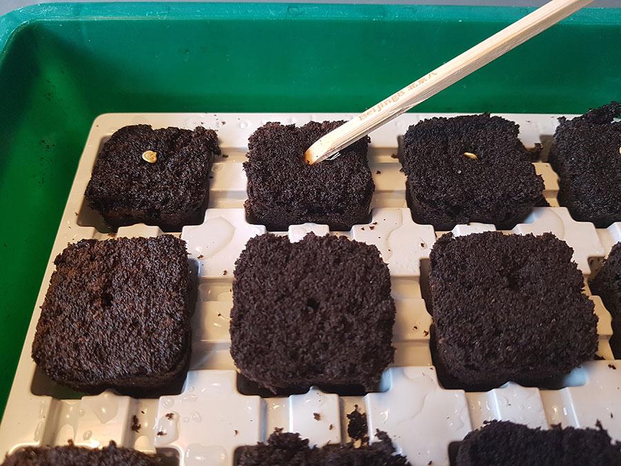 Root-IT eller Root-RIOTpluggar är enkla att hantera. Här är det chilipeppar som sås, ett frö i varje. Foto: Kerstin Engstrand