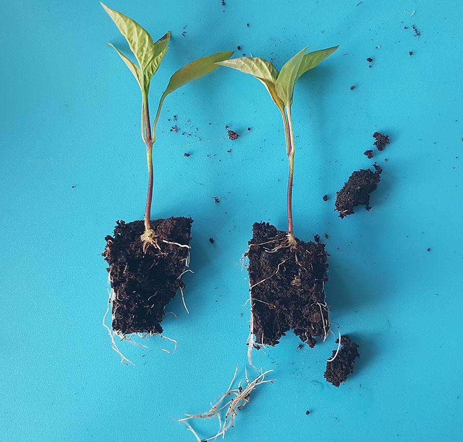 Sår du två frön i en lugg, och båda gror, så kan man försiktigt sära på plantorna i pluggen. och plantera om dem i var sin kruka. Foto: Kerstin Engstrand