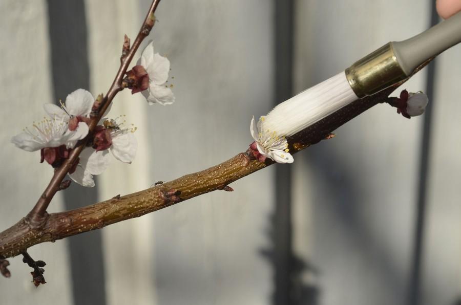 Pollinering av  aprikos. Foto: Kerstin Engstrand