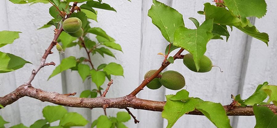 Kart av aprikoser. Foto: Kerstin Engstrand