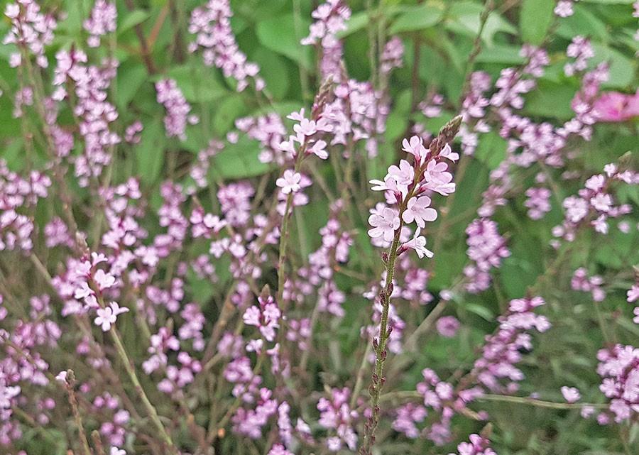 Verbena officinalis var. grandiflora 'Bampton' Foto: Kerstin Engstrand