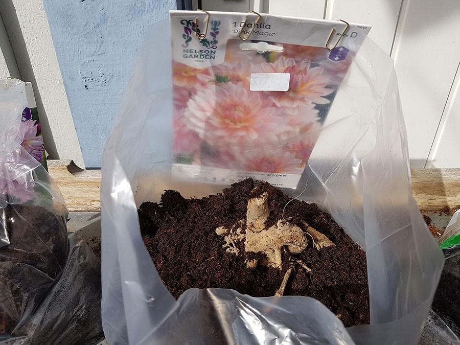 Dahlior drivs lätt i plastpåsar. Foto: Kerstin Engstrand