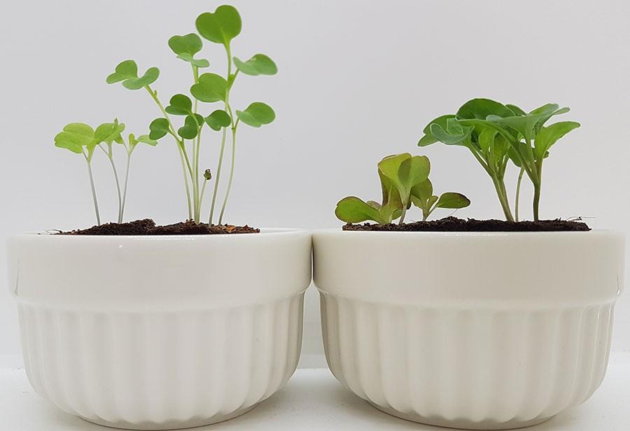 Bäst och sämst den 23 februari. Till vänster sallat och rucola från västerfönstret utan extra belysning. Till höger sallat och rucola som växt en bit inne i rummet och under Ikeas ljusramp Växer.    Foto: Kerstin Engstrand
