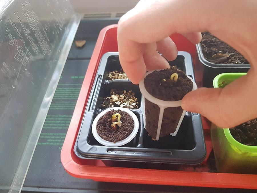 Det går lätt att låta fröna gro direkt i pluggen. bara att flytta över till den hydroponiska odlingen när fröna har grott.  Foto: Kerstin Engstrand