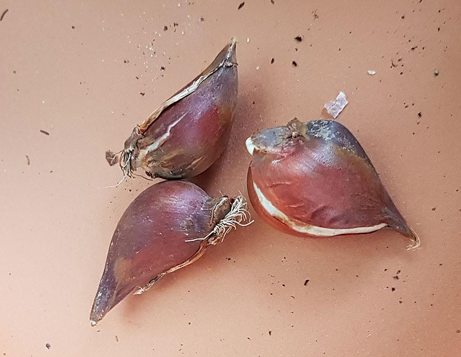 Lökar av Tulipa humilis 'Rosea Caerulea Oculata'. Foto: Kerstin Engstrand