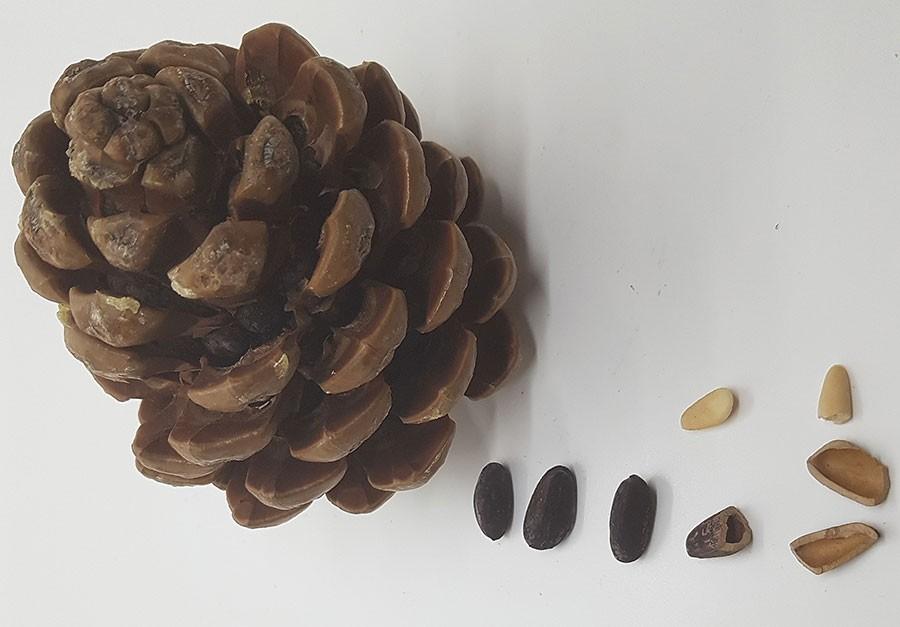 """Fröskalet som omger """"pinjenöten"""" är kolsvart. fröna, de som säljs som pinjenötter, är beigevita.  Foto: Kerstin Engstrand"""