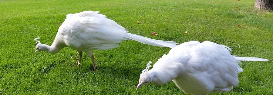 Vita påfåglar. Foto: Kerstin Engstrand