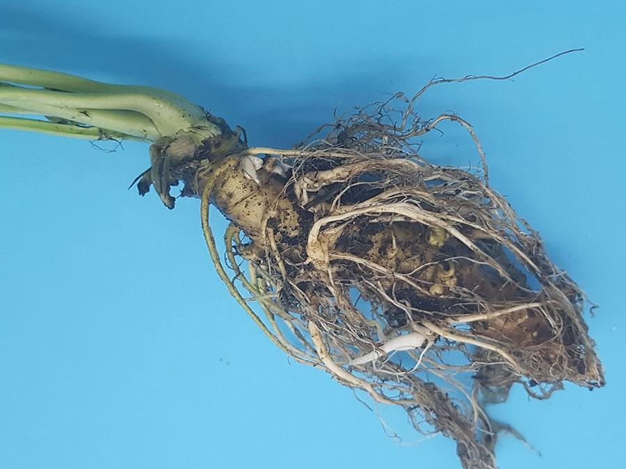 Såplanta av Wasabi, här har jordstammen blivit mellan 0,5 till 1 cm hög. Foto: Kerstin Engstrand