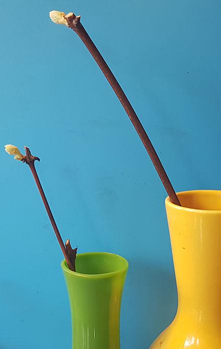 Mörka, täta vaser fungerar bäst om sticklingarna ska stå i vatten. Foto: Kerstin Engstrand